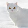 СнежныйКот