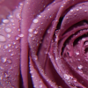 Rose (purple)