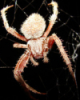 arachne, spider