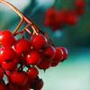 dodificus: red fruit