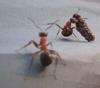 муравей, esbi