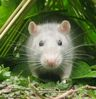 крысья морда