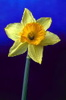 the laughing leaping water: daffodil