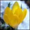 желтый цветок на снегу