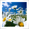 murf1013: daisies