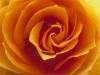 dawnstarrising: Rose