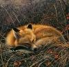fox dreaming