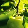 Archon Mentha: Apple