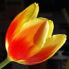 Sun thru tulip