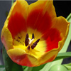 Red & Yellow Tulip