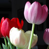 Geri Sullivan: 4 tulips