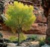 canyontree