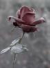 little_feya: роза