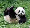 panda butterstick