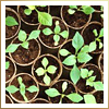 In Different Hues: First Green Seedlings