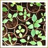 First Green Seedlings