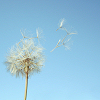 kosmicseer: wishing on a dandelion
