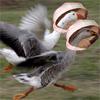 kinggoose
