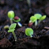 Seedlings1