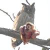 lash_larue: Monkey/Owl