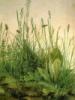 grass by durer