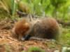 Лисенок или Fox