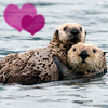 [Animals]Sea Otters-Heart