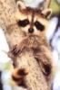 racoon tree hug