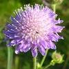 knautia userpic