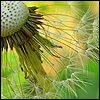 dandelion close