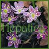 Hepatica Whortleberry