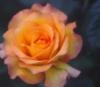 dL: rose