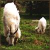 goat&Kid