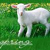 lamb_spring