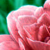 [Alabama] Camellia