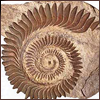 Helicoprion!