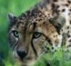 cheetah_13 userpic