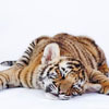 Also into cats: Pooped!Tiger