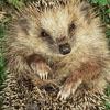 Also into cats: Hedgehog