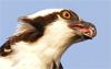 ospreybarf