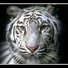 socalwhitetiger userpic