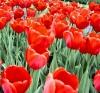 Helenka: Tulips
