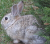 front yard bunny