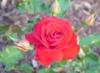 tulip_maria