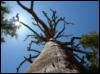 standing dead tree