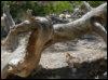 Bryce Canyon, yoga tree