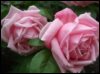rosie55