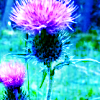 selannia: Nature Thistle