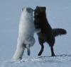 Foxes romantic