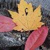 mercsgoodgirl: AutumnLeaves